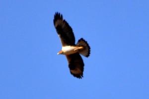 Bonnelis Eagle jpg